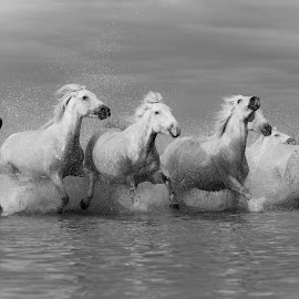 Mares in water black & white by Helen Matten - Black & White Animals ( water, galloping, mares, wild, horses, camargue, white, black, and )