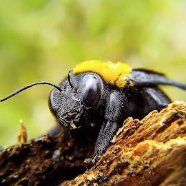 carpenter bee by Hendrata Yoga Surya - Instagram & Mobile Android ( lebah, bangbara, carpenter bee )