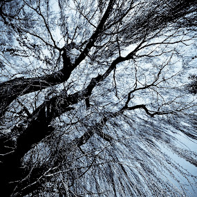 Weeping Willows by Geary LeBell - Nature Up Close Trees & Bushes ( sky, tree, weeping willow, forest, willow, rain, branches )