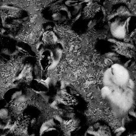 Duckling by Andi Appa - Animals Birds