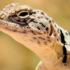 Collared lizard by Scott Thomas - Animals Reptiles ( #nature, #animals, #reptile, #lizard, #collaredlizard )