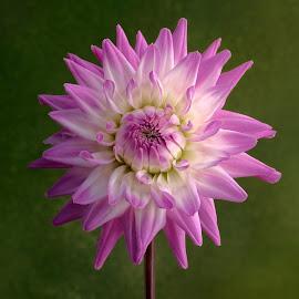 Purple & white by Jim Downey - Flowers Single Flower