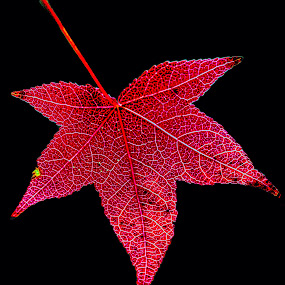 Leaf by Scott Bryan - Nature Up Close Leaves & Grasses ( abstract, isolated, red, fall, background, leaf )