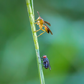 Fly buggin a Wasp by Fares Ragunath - Animals Insects & Spiders ( wasp, nature, fly, green, close up )