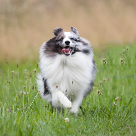 by Peter Grutter - Animals - Dogs Running ( dogs, shetland sheepdog, walk, sheltie )