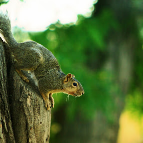 Ready set  jump by Jennifer Holmes - Animals Other Mammals ( tree, trees, ears, tail, squirrel, jump )