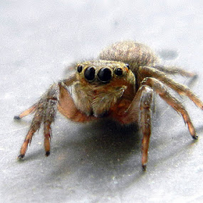 Jumping spider by Divnoor Buttar - Animals Insects & Spiders ( flower indian world beautfull awesome amazing flowers )