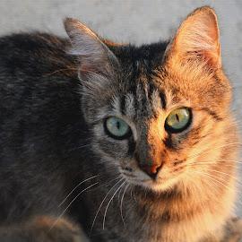 Cat Portrait by Florentina  Arvanitaki - Animals - Cats Portraits ( cat portrait, cat, cute cat, cat eyes, close up cat, beautiful cat )
