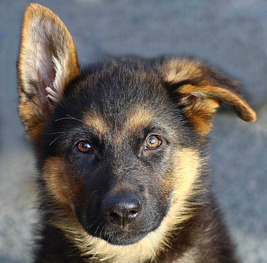 Puppy Face by Chrissie Barrow - Animals - Dogs Puppies ( cream, portrait, eyes, pet, ears, fur, puppy, dog, german shepherd, nose, closeup, black, tan )