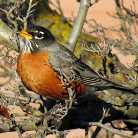 ROBIN by Cynthia Dodd - Novices Only Wildlife ( flying, robin, nature, feathers, birds )