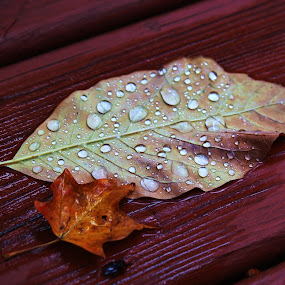 Cool, Rainy Autumn Morning  by Emily Schmidt - Nature Up Close Leaves & Grasses ( fall leaves on ground, fall leaves, water drops, red, pwcfallleaves, nature, wood, autumn, folliage, abscission, fall, leaves )