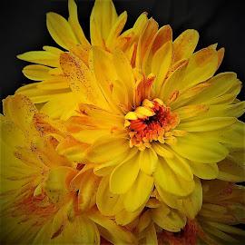 Chrysanthemum  by Mary Gallo - Flowers Flower Gardens ( yellow flowers, macro, nature, chrysanthemum, garden flowers, flower )