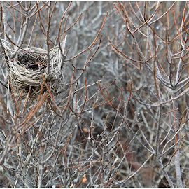 Bird Nest  by Lorraine D.  Heaney - Nature Up Close Hives & Nests