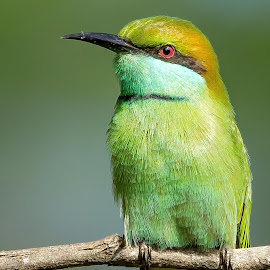 Green Bee-eater by S Balaji - Animals Birds ( wild, animals, balaji, s, nature, green bee-eater, birds,  )