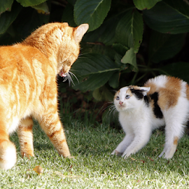 The meeting by David Smith - Animals - Cats Playing ( kitten, cat, meeting, surprise, shock,  )