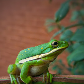 Green Tree Frog by Berry Fraley - Instagram & Mobile Android