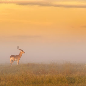 Lechwe in the mist by Brendon Cremer - Animals Other Mammals ( botswana, nature, wildlife, africa, lechwe )