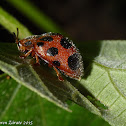 Leaf Beetle mimic of a Lady Bug