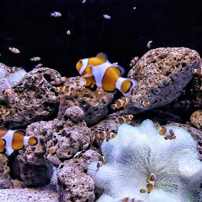 Amphiprioninae by Erl de Jose - Animals Fish ( animals, sea creatures, anemone fish, fish, clown fish,  )