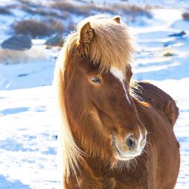 Icelandic mare by Anna Guðmundsdóttir - Animals Horses ( mare, iceland, hryssa, icelandic horse, horse, anna guðmundsdóttir, ísland, hestur, íslenskur hestur,  )