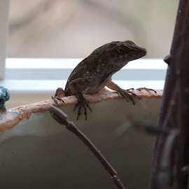 What are you looking at!!! by Dean Germann - Animals Amphibians ( wild, lizard, gecko, outdoors, reptile )