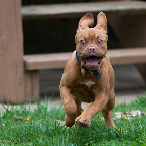 Wildthing by Gary Enloe - Animals - Dogs Running ( mastif, pet, puppy, dog )