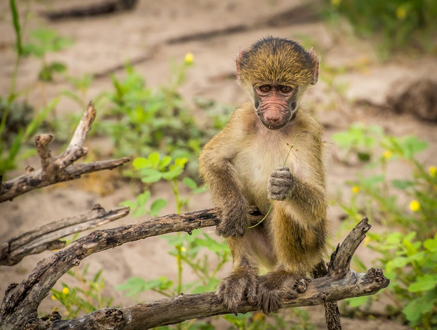 A small gesture by Warren Hanna - Novices Only Wildlife ( #baby, #portrait, #nature, #baboon, #wildlife )