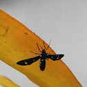 Polka - dot wasp moth