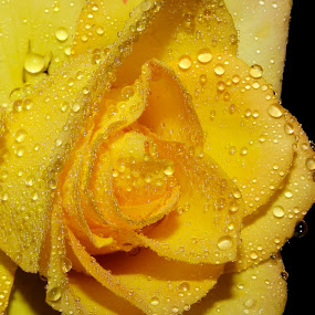 gracious by Anand Kumar - Nature Up Close Flowers - 2011-2013 ( water, rose, nature, petals, dew drops, yellow, close up, flower, droplets )