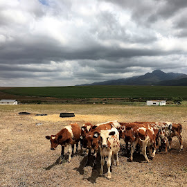 Swellendam by Martha van der Westhuizen - Landscapes Prairies, Meadows & Fields ( clouds, farm, mountains, farmfields, swellendam, group, huddling, cows, travel picture, livestock, western cape )