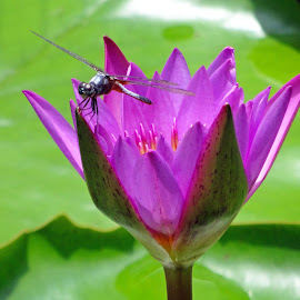 Budding beauty by Asif Bora - Flowers Flower Buds