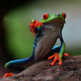 Red Eye Frog by Ajar Setiadi - Animals Amphibians