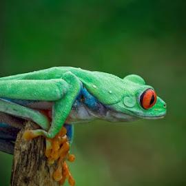 Side Pose... by Vincent Sinaga - Animals Amphibians ( frog, amphibian, amazonian frog, green frog, animal )