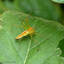 similar to Orange-backed lynx spider