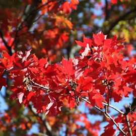 Fall by Monica Hayden-Carroll - Instagram & Mobile Android ( maple trees, fall, trees )