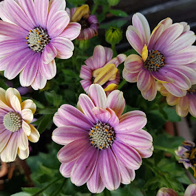 Our Osteospermum by Ingrid Anderson-Riley - Flowers Flower Gardens
