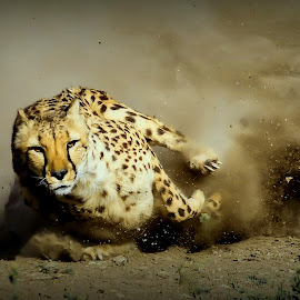 Cheetah Run by Lee Molof - Animals Lions, Tigers & Big Cats