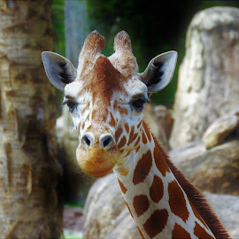 Giraffe by Mary Gallo - Animals Other Mammals ( zoo, nature, giraffe, portrait of a giraffe, close up, mammal, animal )
