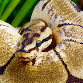 Serpent's SSSStare! by Rick Luiten - Animals Reptiles