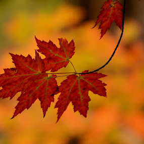 A dash of Red by Jim Schlett - Nature Up Close Leaves & Grasses ( red, colorful, autumn, fall, trees, leaf )
