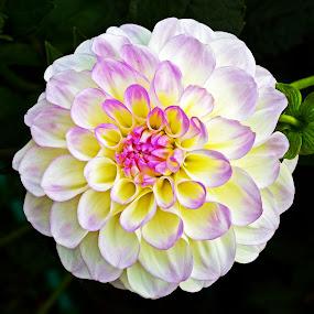 by Naveen Naidu - Flowers Single Flower