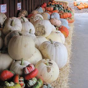 Pumpkin Stand by Lynn Morley - Public Holidays Halloween ( orange, fall, pwcpumpkins, pittsfield )