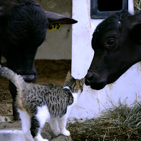 by Lacy Gillott - Animals Other ( farm, buffalo, cat, calf, baby )