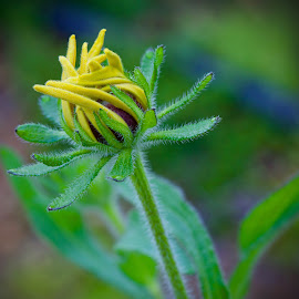 by Marie Schmidt - Flowers Flower Buds (  )