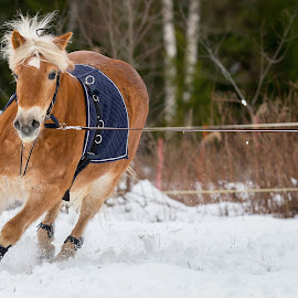 Haflinger With Speed by Sami Rahkonen - Animals Horses ( the look, winter, horses, speed, pet, outdoor, horse, action, telephoto, haflinger, bokeh, mammal, close )
