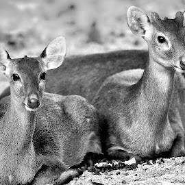 B&W deers by Francois Wolfaardt - Black & White Animals ( animals, nature, heads, ears, close-up, eyes, deer, mamals )