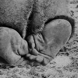 We Are All The Same by Lorna Littrell - Black & White Animals ( black and white, feet, primate, close up, animal,  )