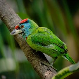 Bsonto bauri by Sanlap Biswas - Animals Birds ( asiatica, blue, bosonto, nilgala, megalaimaa, barbet, bauri, throated, bauri bird, basanta )