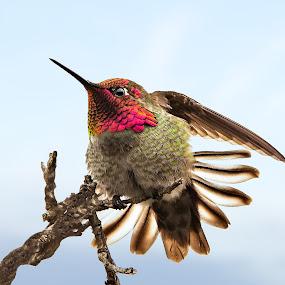 Posing Hummingbird by Gary Beresford - Animals Birds ( breeding, wings, hummingbird, feathers, san francisco )