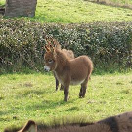 donkey by Nick Parker - Animals Other ( donkey, foal )